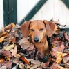 When Dogs Go Crazy Over Leaves