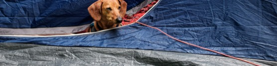 Dachshund Goes Camping in the Rain