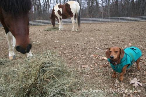 dachshunds and ponies