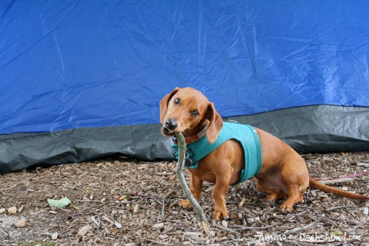 ammo the dachshund camping