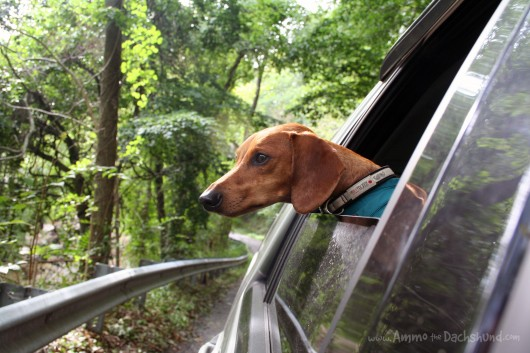 ammo the dachshund hurricane irene