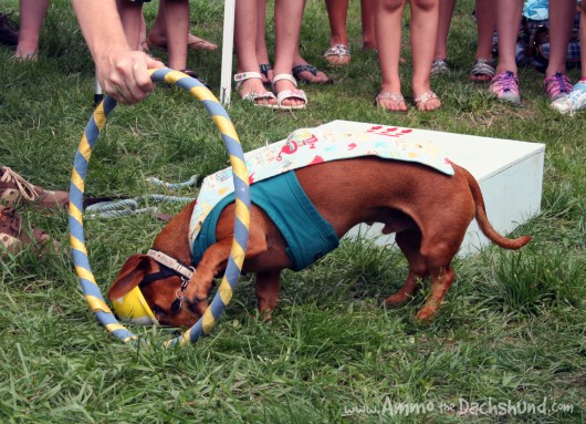 ammo the dachshund with painting pony