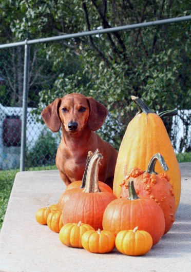 ammo the dachshund with pumpkins