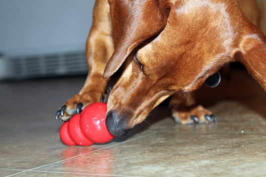 ammo the dachshund with kong