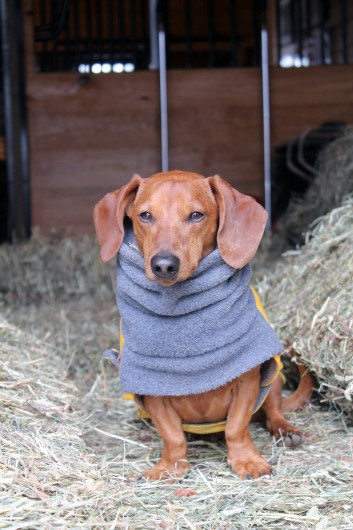 ammo the dachshund hay is for horses