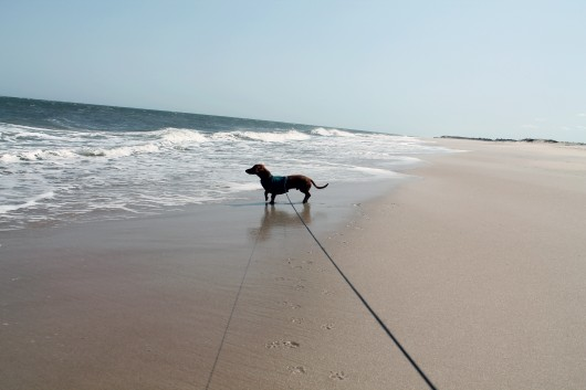 ammo the dachshund visits the beach