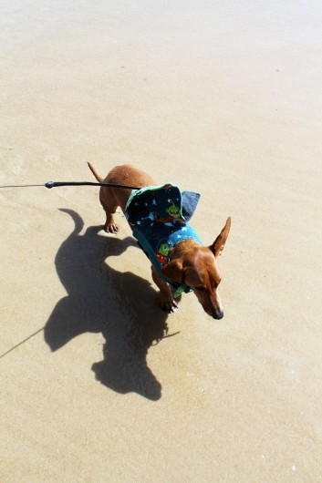 ammo the dachshund trip to the beach