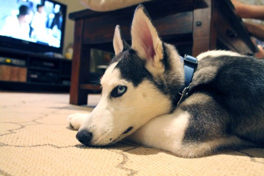 shilah the husky puppy