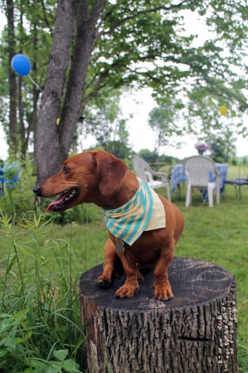 Ammo the dachshund university of delaware graduation party