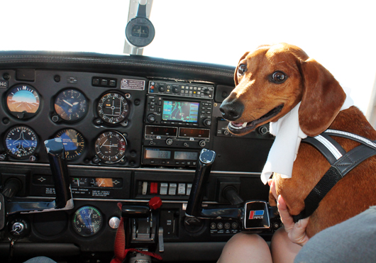 Dachshund takes flight flying high in a piper single for Traveling on a plane with a dog