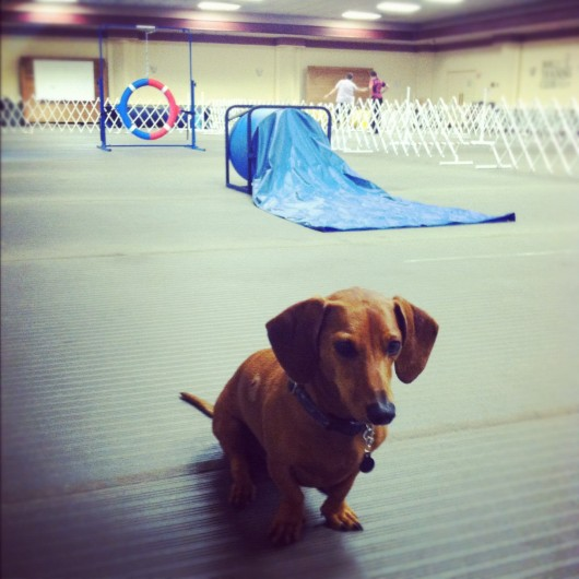 Ammo the Dachshund // Dog Agility