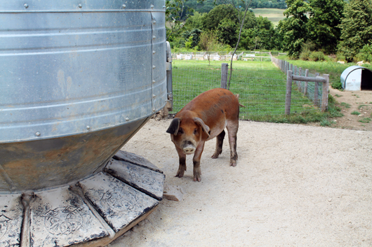 Ammo the Dachshund visits Wyebrook Farm