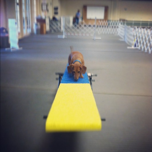Ammo the Dachshund // Agility // Teeter Totter