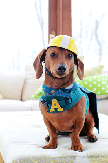 A is for Ammo // Ammo the Dachshund Super Hero