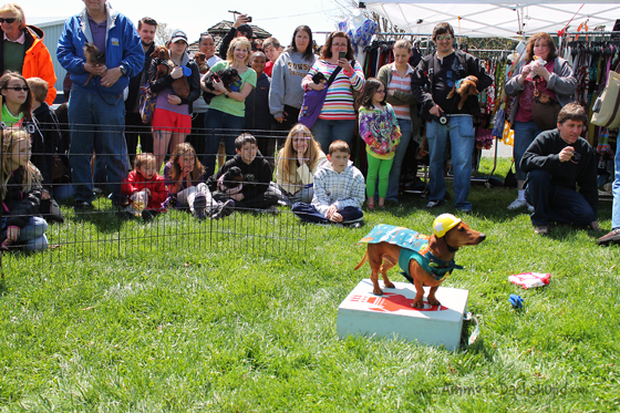 Spring Doxie Fest 2013 // Ammo the Dachshund performs