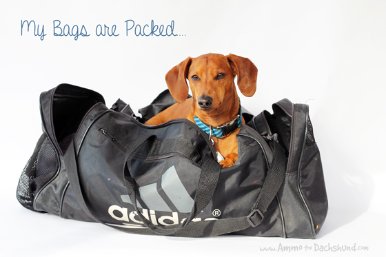 My Bags are Packed // Ammo the Dachshund