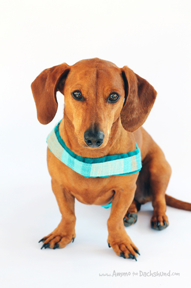 Miss-Flo Custom Dog Harness Review // Ammo the Dachshund