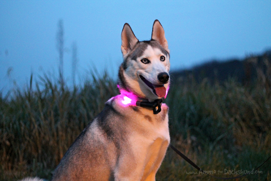 Glowdoggie Led Dog Collar Review & Giveaway // Ammo the Dachshund