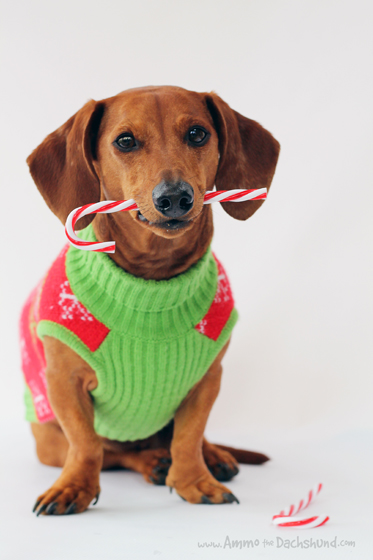 12 Days of Cheer! Ammo the Dachshund