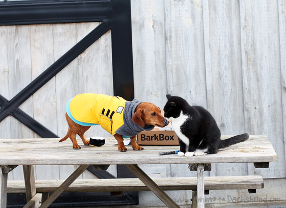 Date Night with Barkbox // Ammo the Dachshund