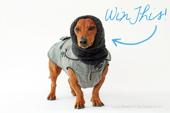 Care 4 Dogs Snood Review & Giveaway - Hood for Dogs // Ammo the Dachshund