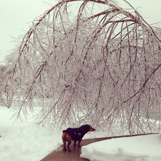 Ice Storm in Pennsylvania // Ammo the Dachshund