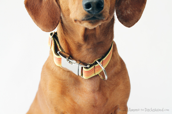 Mattie & Margot Ombre Dog Collar Review & Giveaway // Ammo the Dachshund