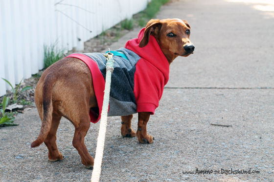 Penn + Pooch Review and Giveaway // Ammo the Dachshund