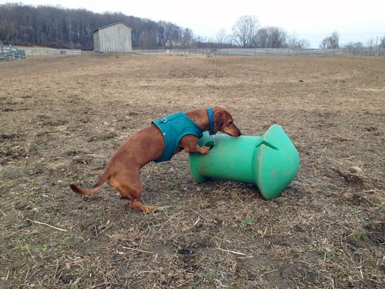 Toys for Ponies & Dogs // Ammo the Dachshund