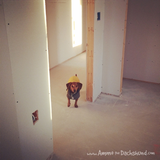 Working Late on the Farmhouse // Ammo the Dachshund