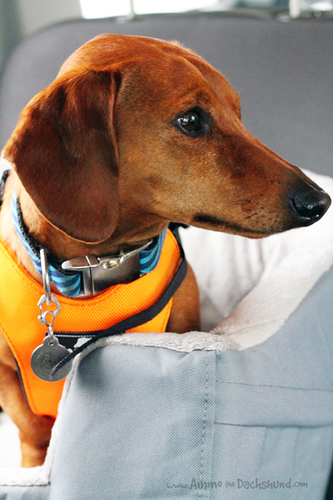 Sleepypod Clickit Review & Giveaway // Ammo the Dachshund