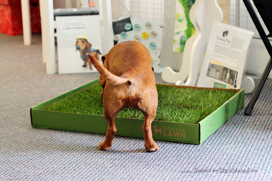 DoggieLawn Review & Giveaway // Ammo the Dachshund