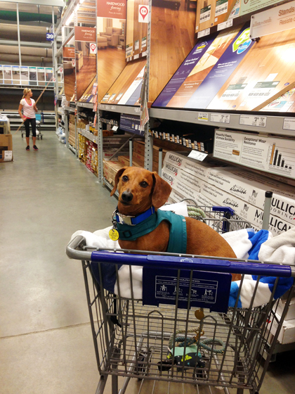 Adventures in Home Improvement // Ammo the Dachshund