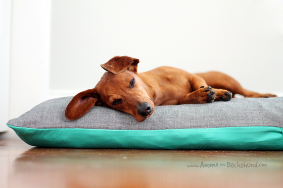 Afternoon Nap // Ammo the Dachshund
