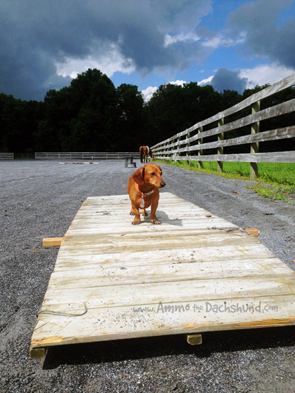 Watch This // Training Horses Through Mimicking // Ammo the Dachshund