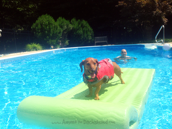 Summer at the Pool // Ammo the Dachshund