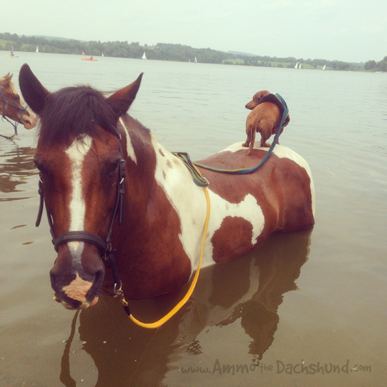 Swimming Dogs and Ponies at the Lake // Ammo the Dachshund
