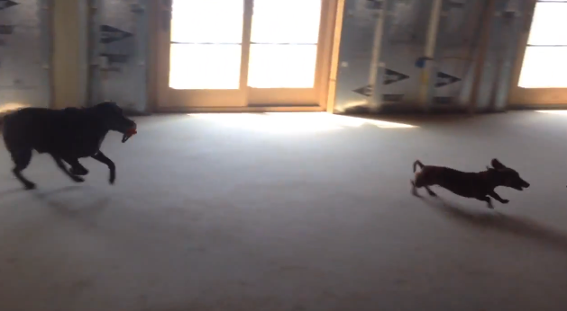 Zoomies // Ammo the Dachshund