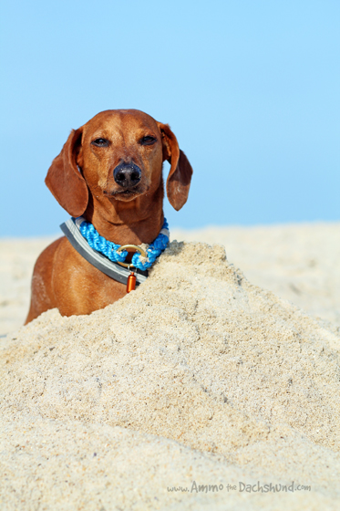 A Day at the Beach // Ammo the Dachshund