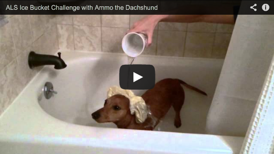ALS Ice Bucket Challenge // Ammo the Dachshund