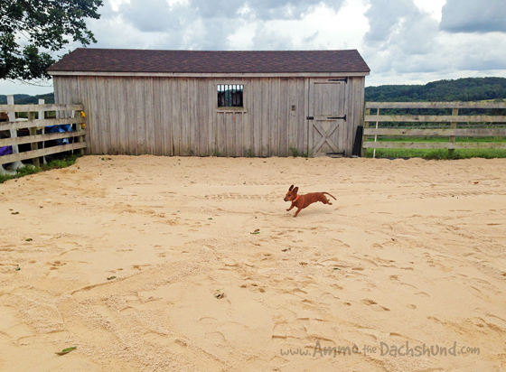 Bringing the Beach Home // New Arena Footing // Ammo the Dachshund
