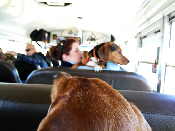 Ammo the Dachshund visits Fairhill International