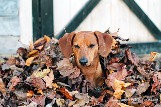 Hanging out in Leaves // Ammo the Dachshund
