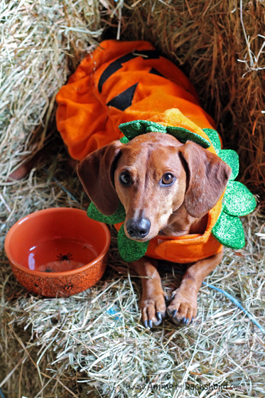 Martha Stewart Pets Fall Line // Ammo the Dachshund