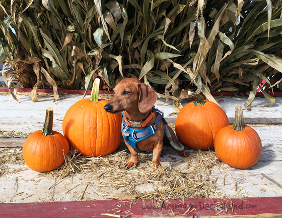 Picking Pumpkins // Ammo the Dachshund