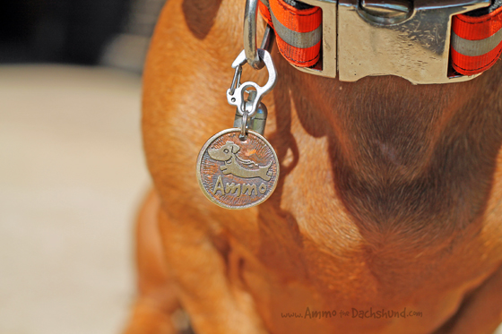 Tag Me Pet Tags Review & Giveaway // Ammo the Dachshund