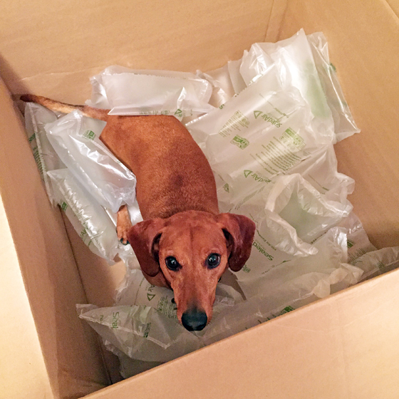 Boxed // Ammo the Dachshund