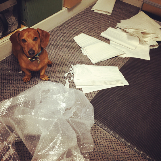 Caught Red Handed // Ammo the Dachshund
