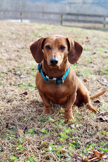Mimi Green Engraved Buckle Collar Review & Giveaway // Ammo the Dachshund