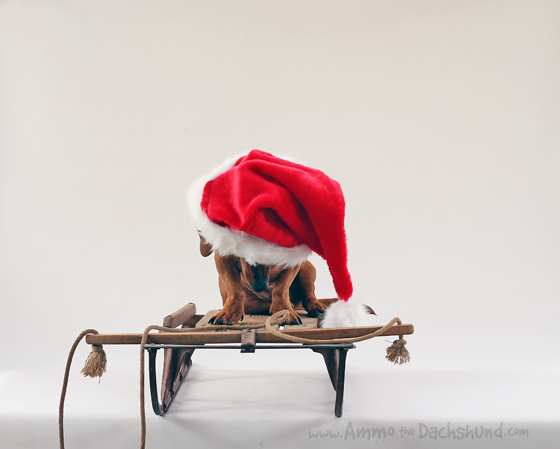 12 Days of Cheer! Ammo's 2014 Holiday Card // Ammo the Dachshund